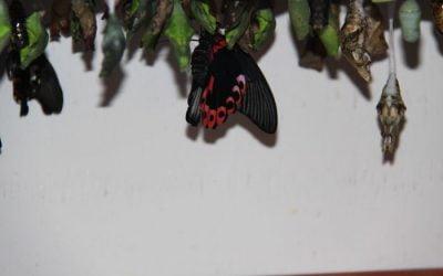The Butterfly Farm – St. Maarten!