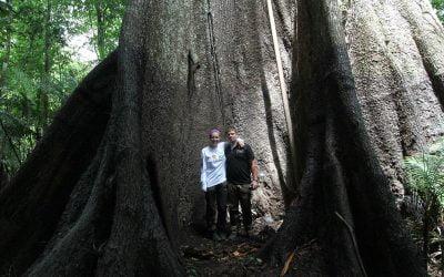 Sumaúma tree – The Biggest In The Amazon!