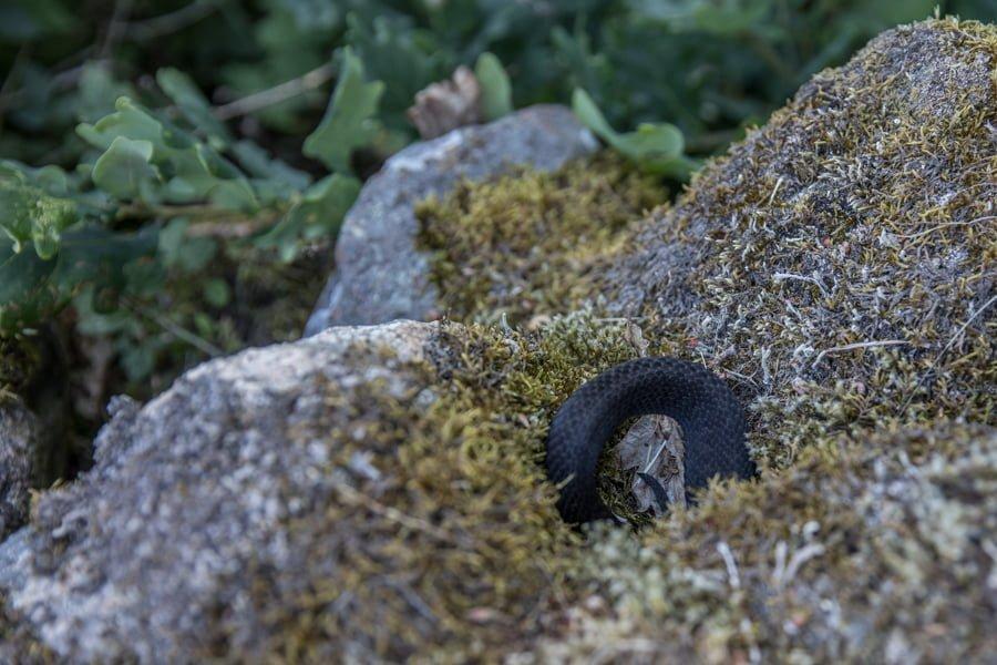 A snake at näsumaviksleden.