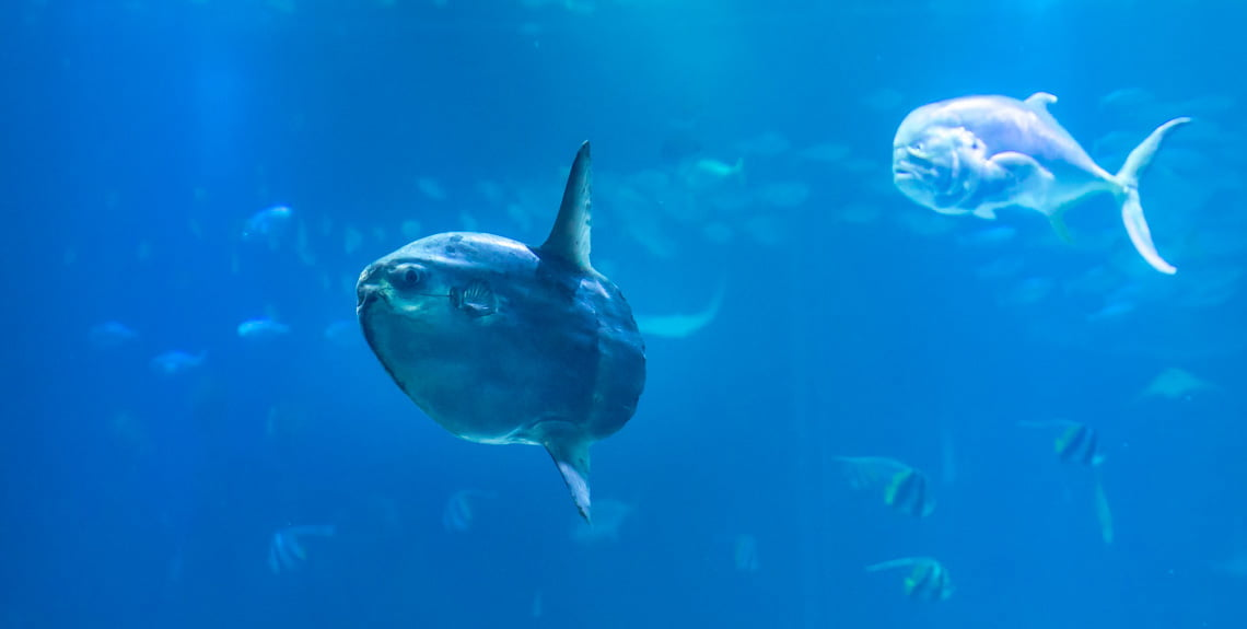 The sunfish at the oceanarium Lisbon