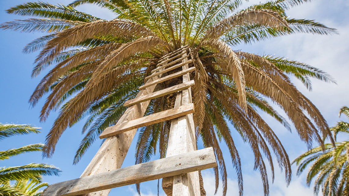 palm tree with ladder