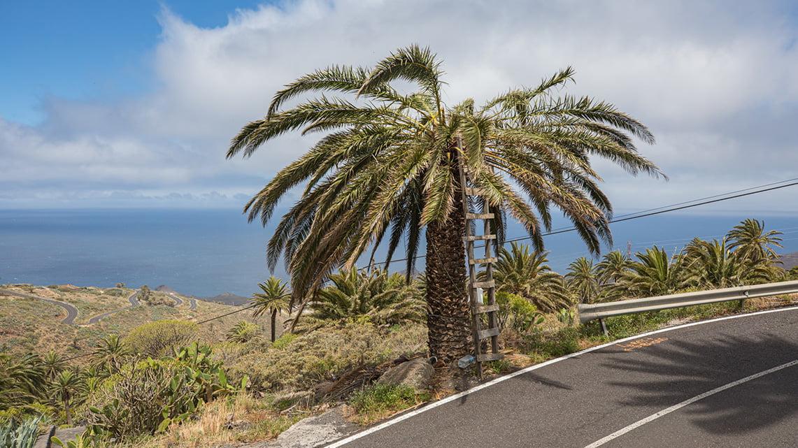 Palm tree La gomera