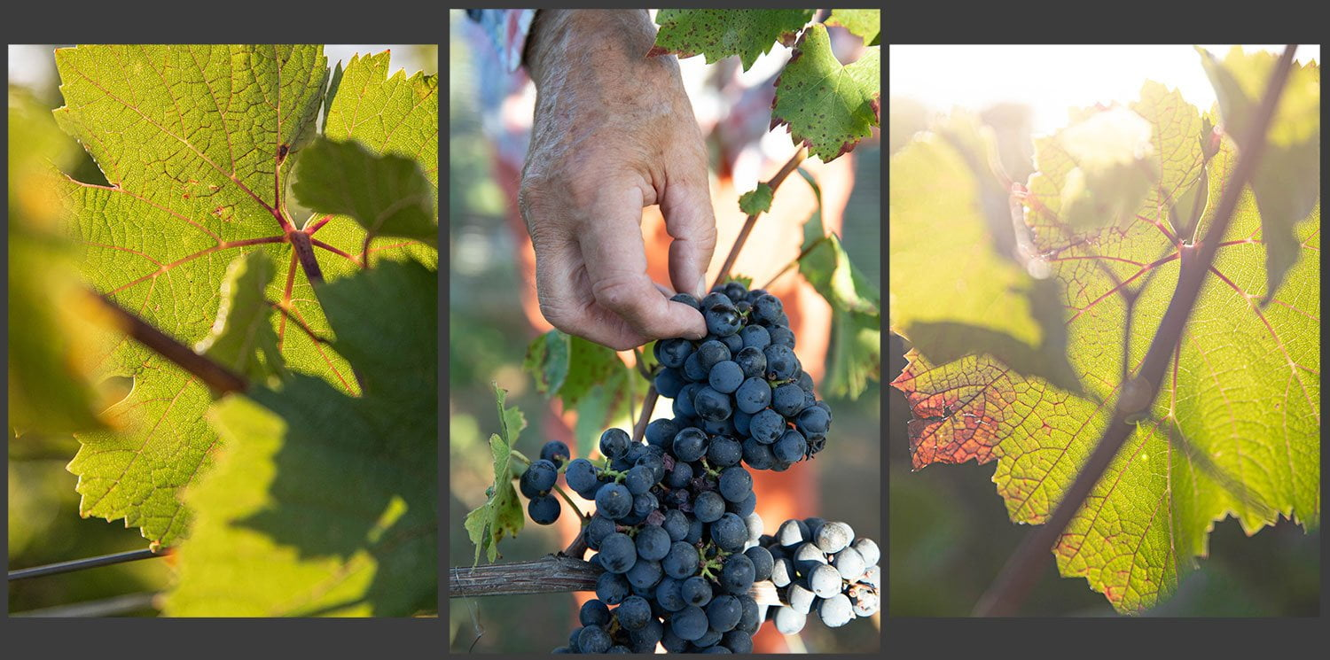 A hand coming from above and picking grapes