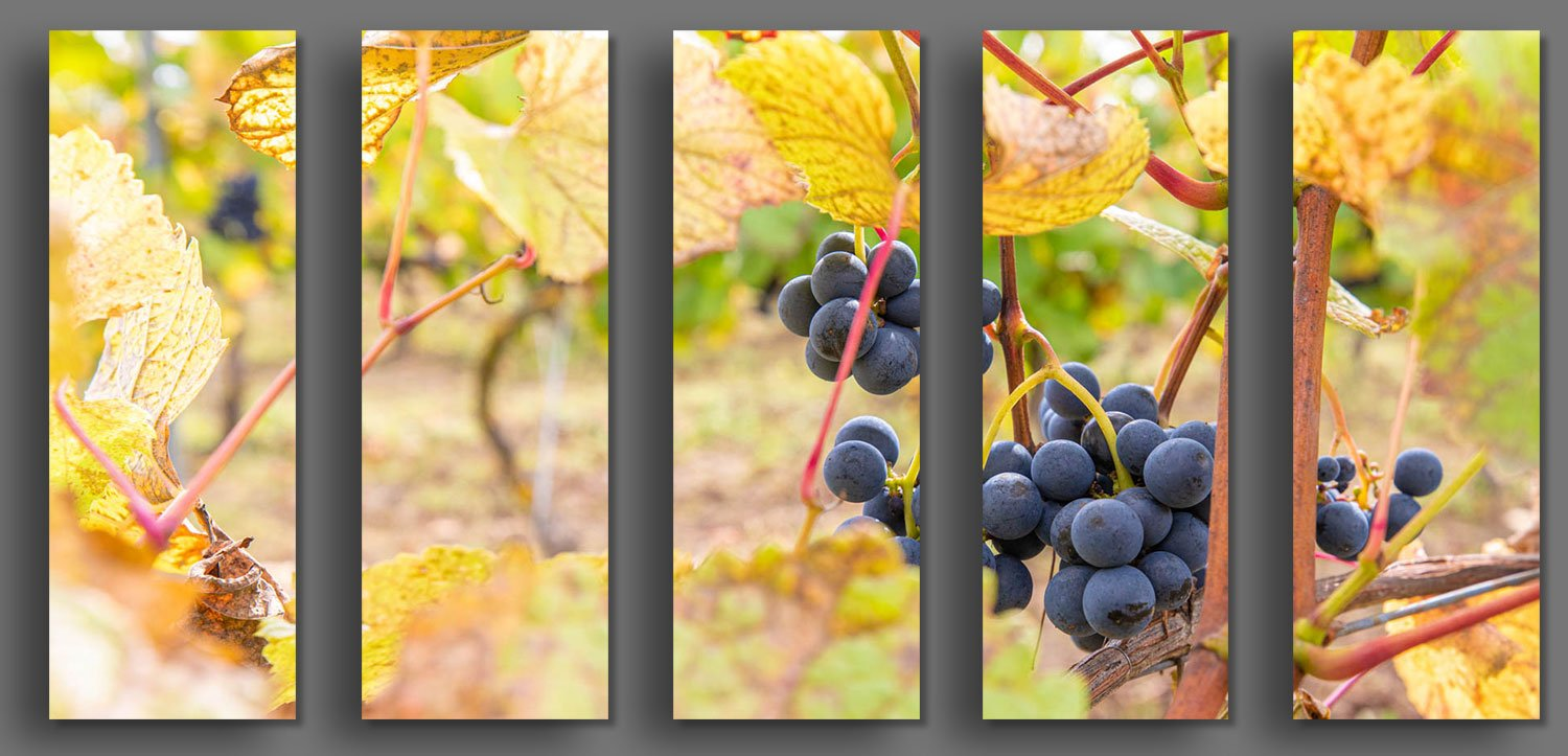 Ripe Red Grapes from the vineyard at Palac Mierzecin in Poland