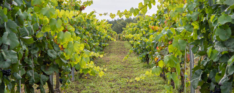 The vineyard at Palac Mierzecin