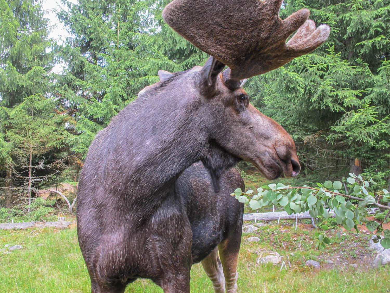 Moose park - see a moose up close