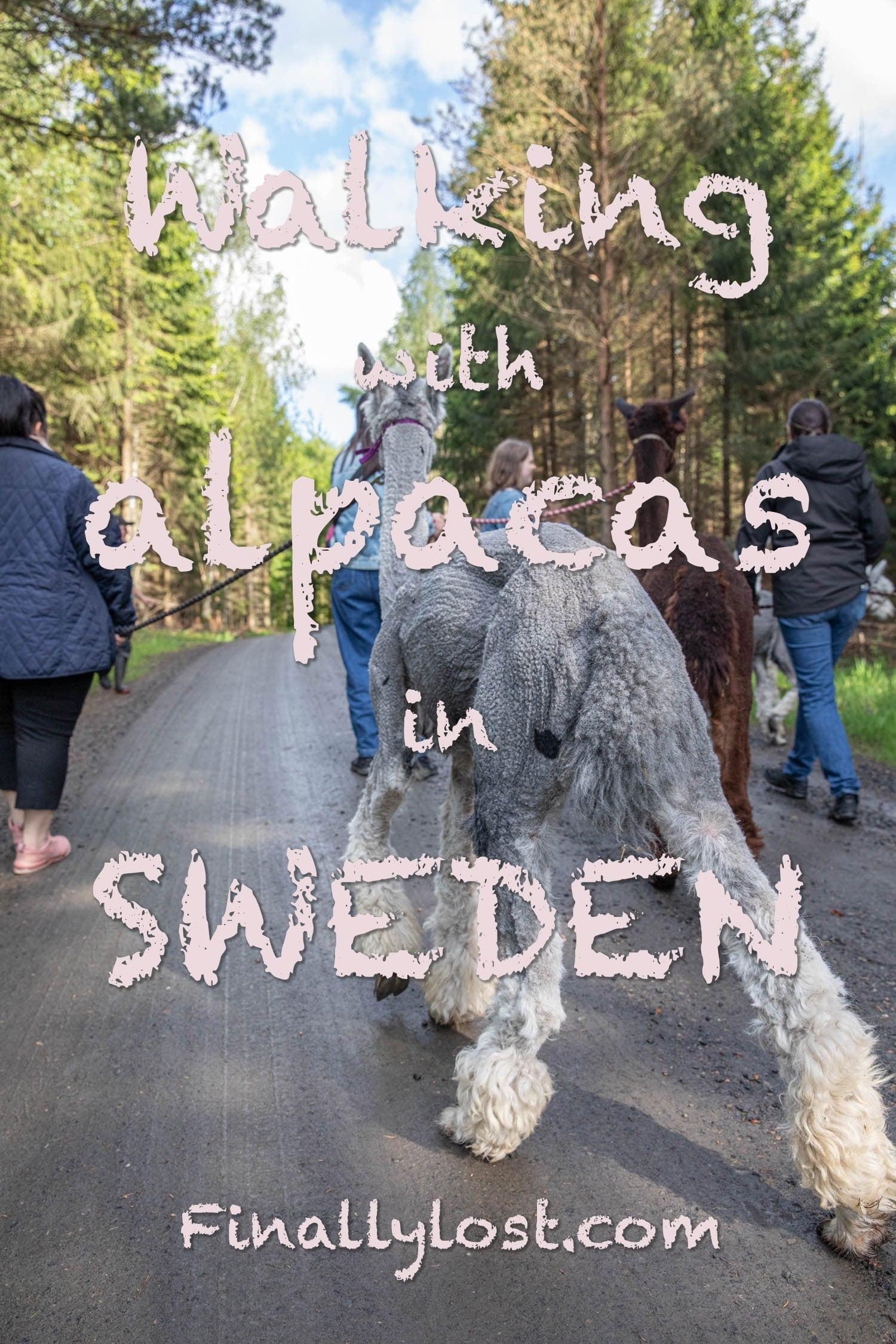 Alpaca trekking in Sweden