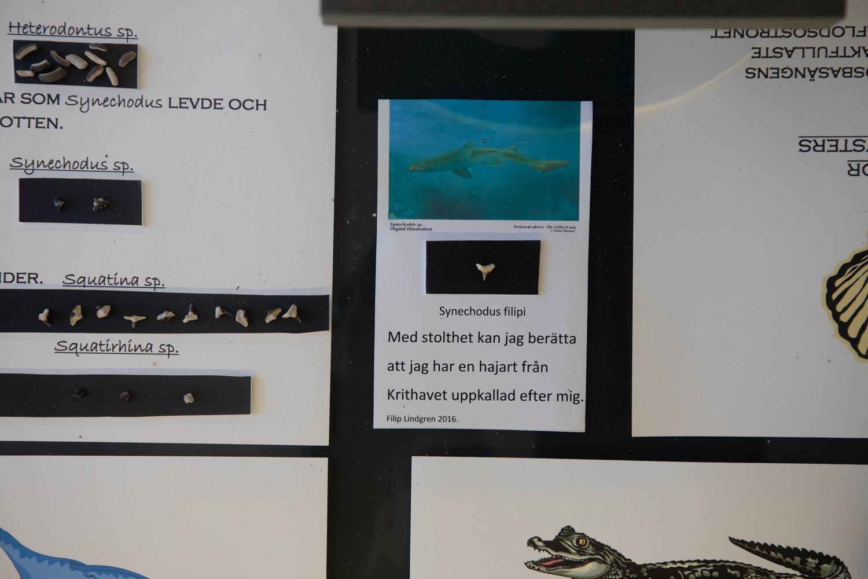 Filip has a shark named after him - Synechodus Filipi