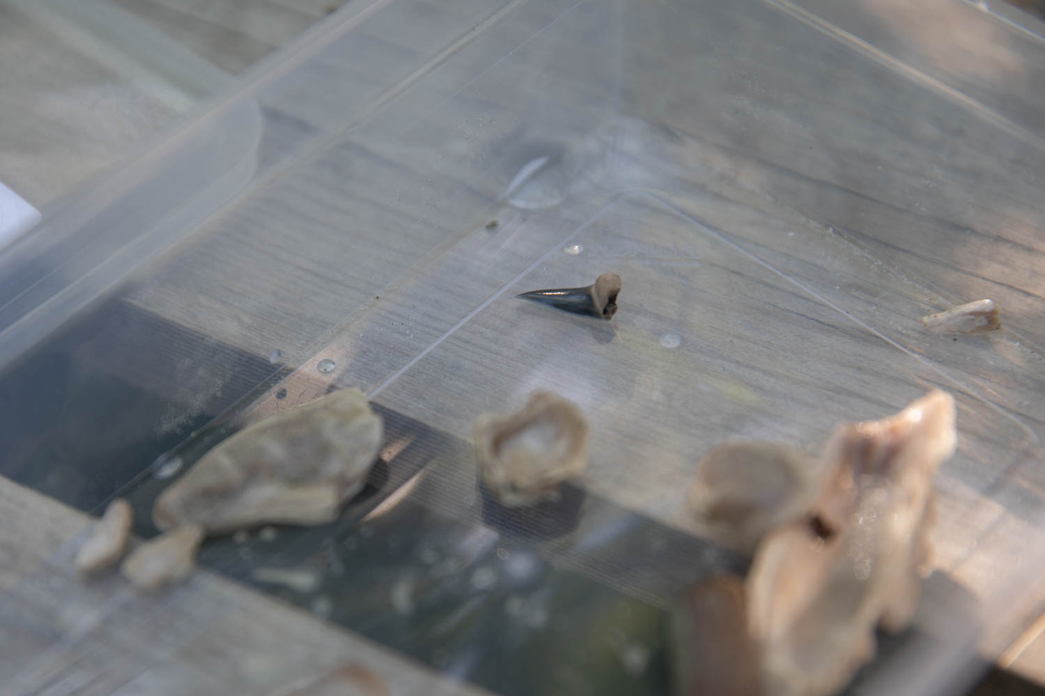 A Shark tooth that was found during the fossil search