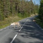 reindeer crossing the road in summer - Dalarna , Sweden