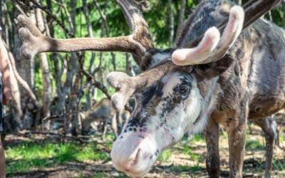 Visit a Reindeer in Dalarna at Renbiten