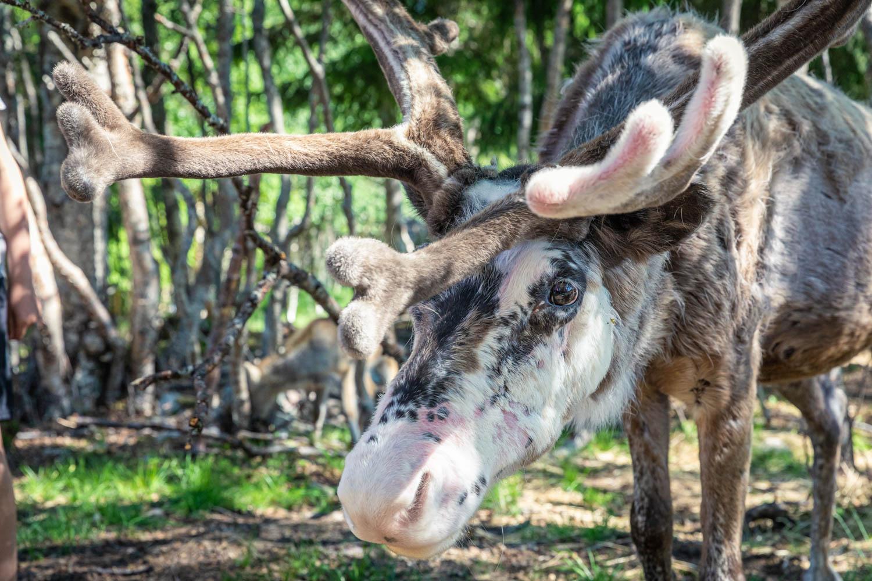 Reindeer in Dalarna