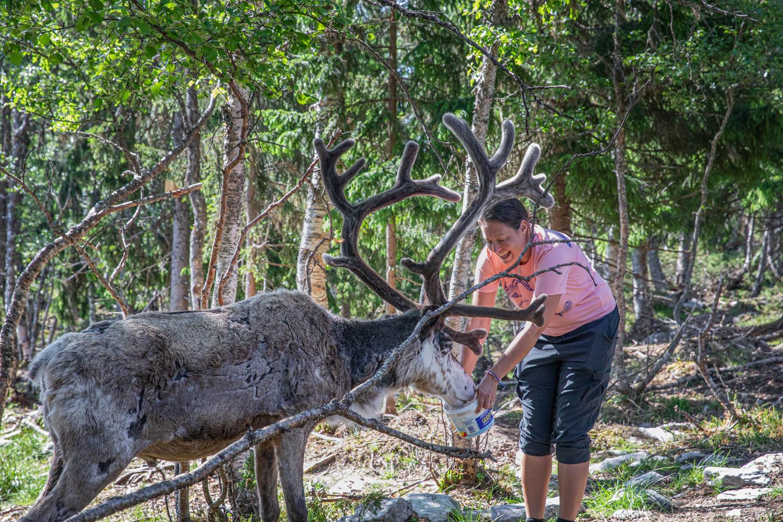 Renbiten allows encounters with reindeer
