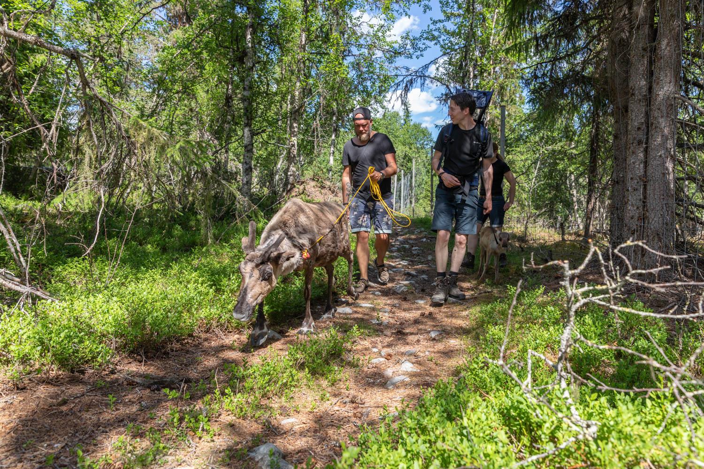 Hiking with reindeer in Dalarna