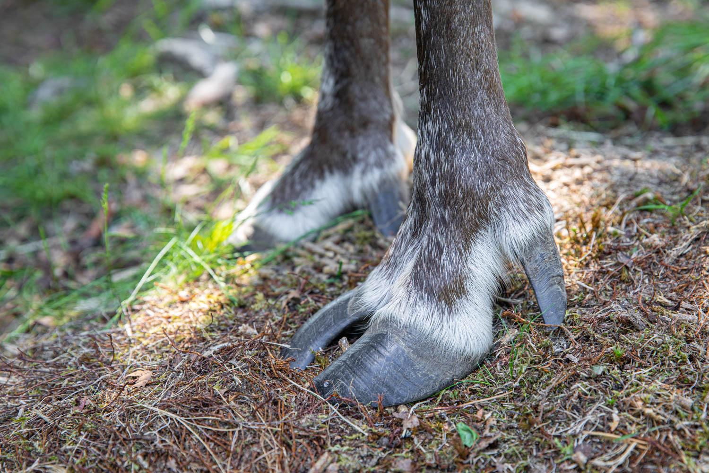 The hoof of a Reindeer in Dalarna