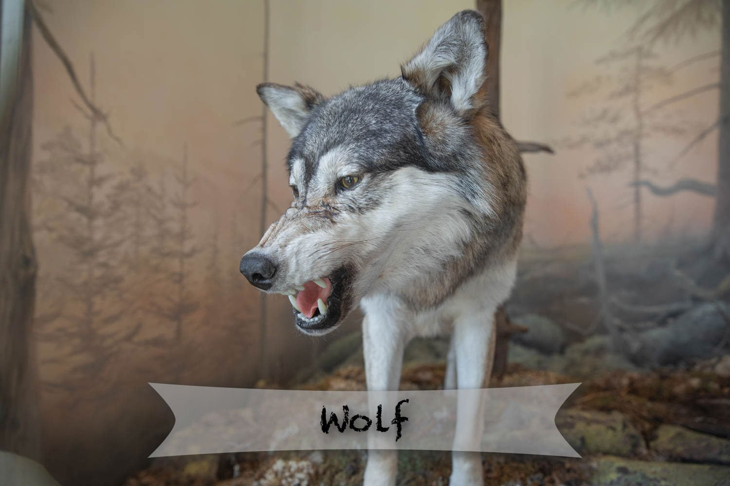 Orsa rovdjurspark - wolf in a display