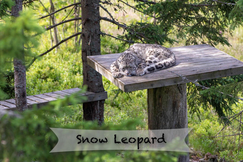 Orsa rovdjurspark - Snow Leopard