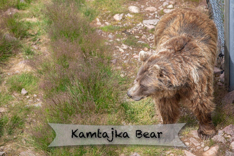 Orsa rovdjurspark - Kamtajka bear