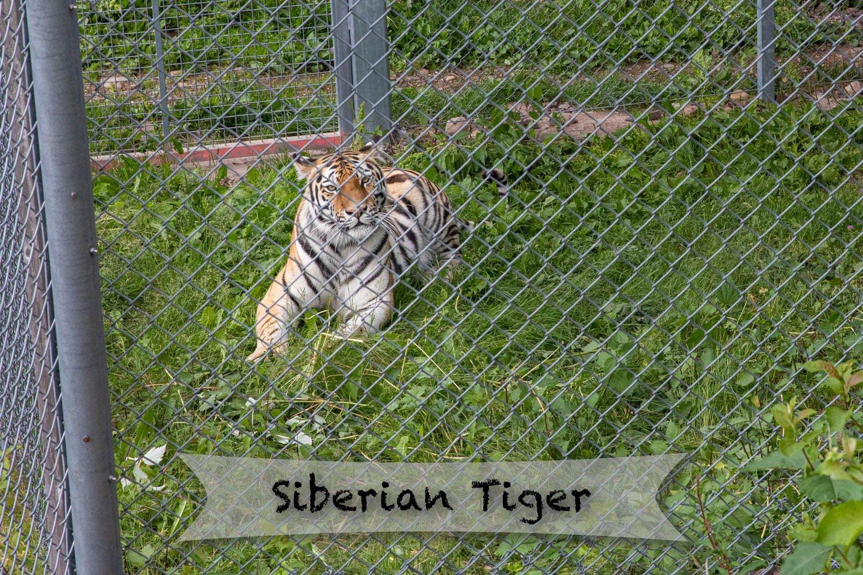 Orsa rovdjurspark - Siberian Tiger