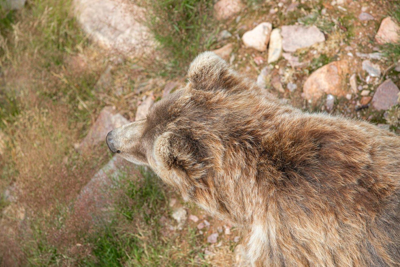 Bear at Orsa Predator park