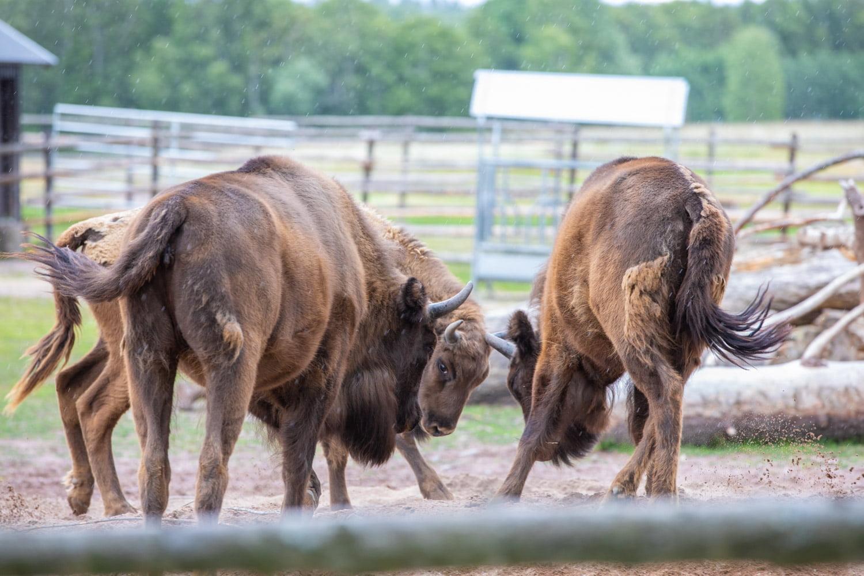 Fighting Bison at Avesta visentpark