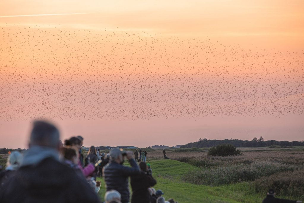 Sort sol Denmark - Watch Starlings and the sunset.
