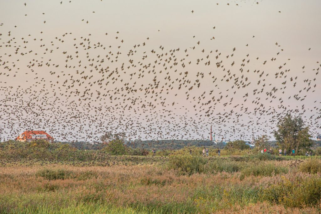 Thousands of starlings going down to landing in Denmark.