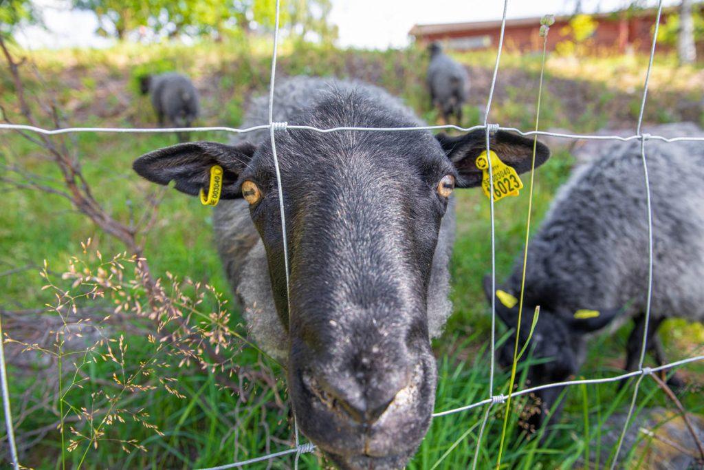 Ornässtugan sheep - Sweden