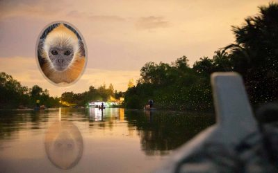 Watch Fireflies and silver leaf monkeys IN MALAYSIA